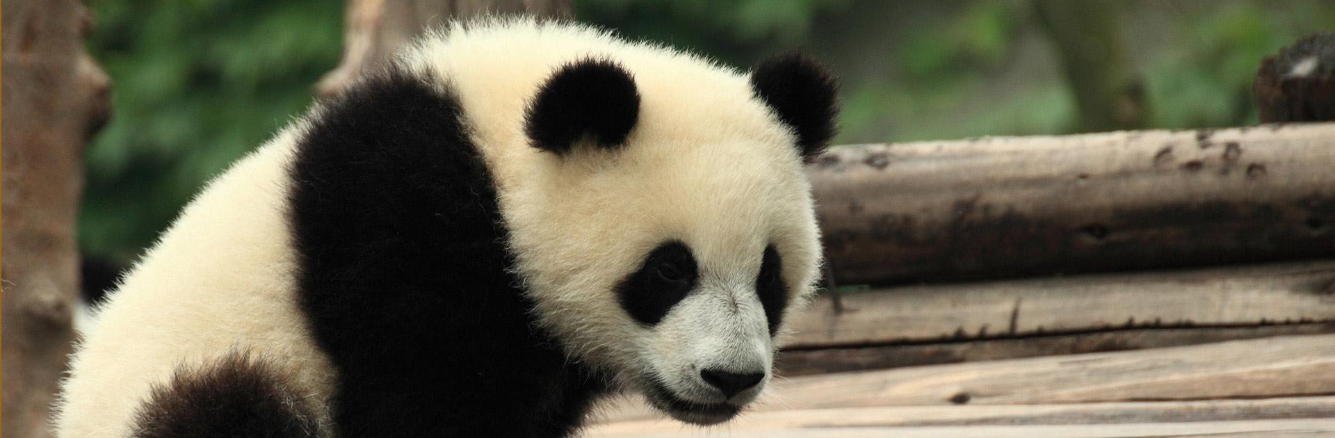 CN Conoce al Panda 11 días 1