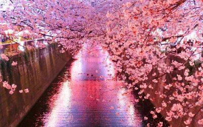 Cerezos en flor Japón 2020: todo lo que necesitas saber