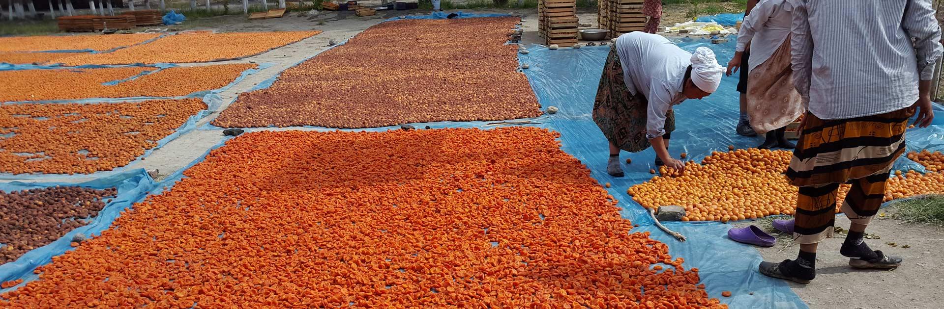 Fergana Uzbekistan Dried apricot fruits in the field