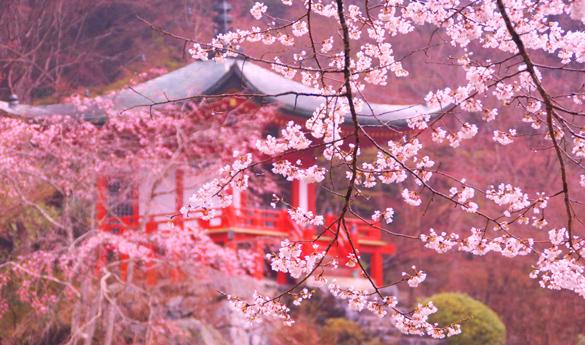 Lo cerezos en flor de la primavera en Japón
