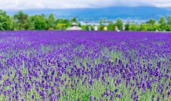 Furano en verano con sus campos florecidos de lavanda