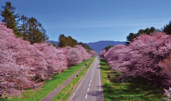 Shin-Hidaka y su espectáculo de 7km de cerezos florecidoss