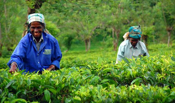 Sri Lanka los mayores exportadores de té del mundo