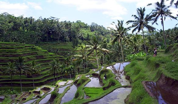 Terrazas de arroz en Indonesia