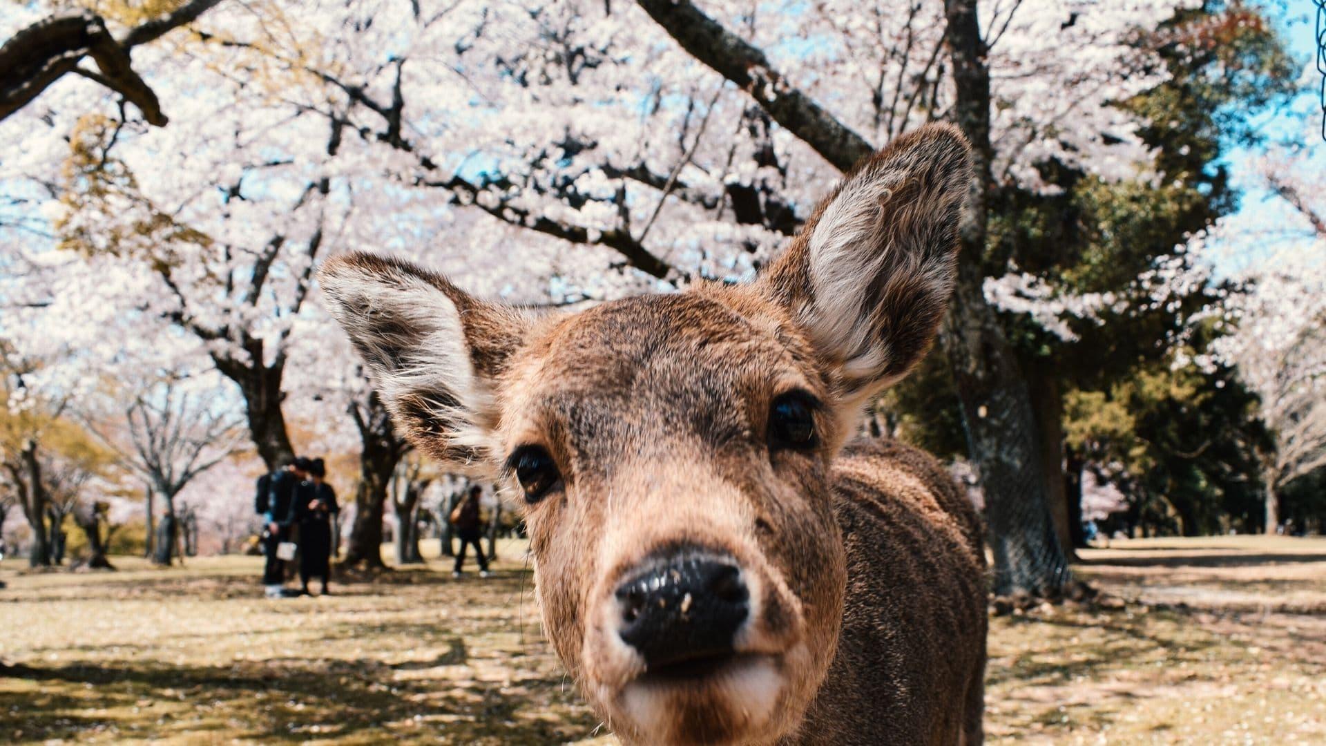 Ciervos del parque de Nara
