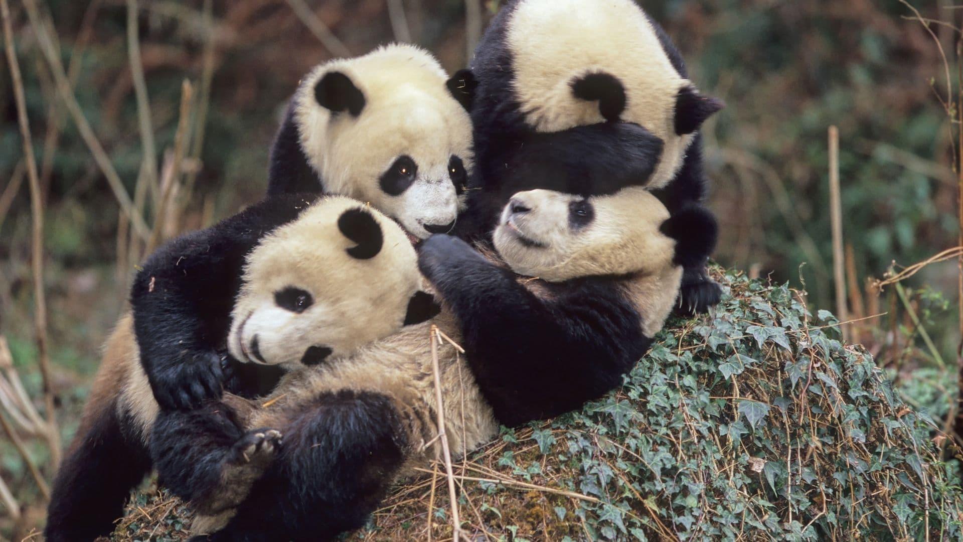 En tu próximo viaje a Chna no puedes dejar de ir a reserva de osos panda de Wolong